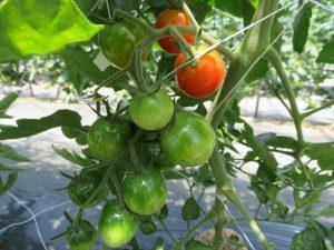 色づきはじめたミニトマト